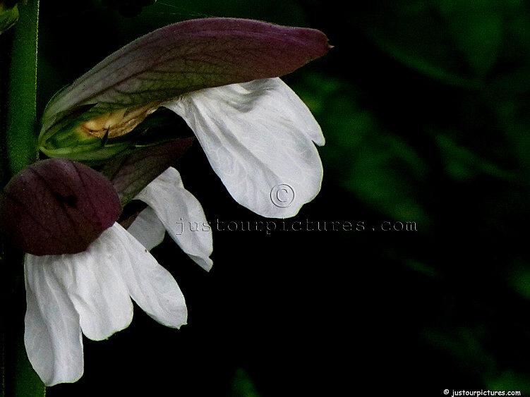 ... Clarkia,Corydalis-flexuosa, Achillea, Pregnant Onion, Echinacea, ...