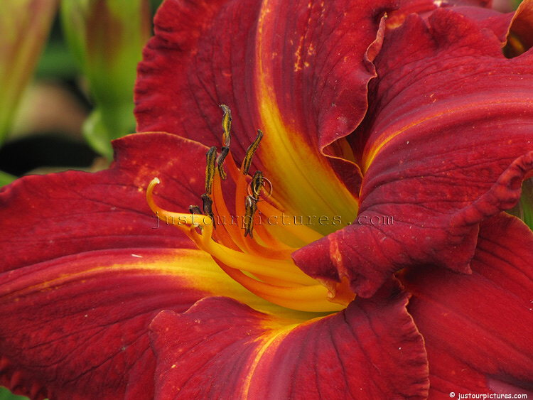 pictures of types of lily  just our pictures of lilies, Beautiful flower