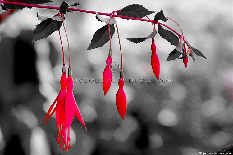 Fushia stag horn plant live oaks photographed in black and white