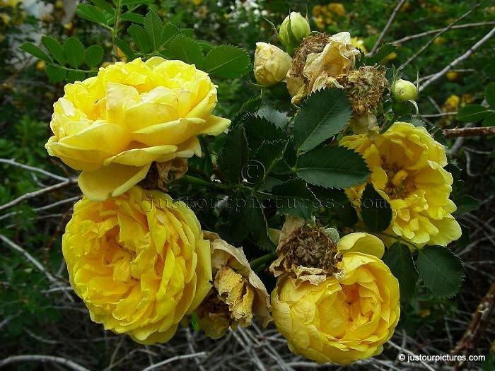 Harisons Yellow Rose