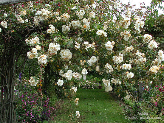Aglaia rose bush