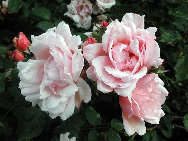 Albertine-rose