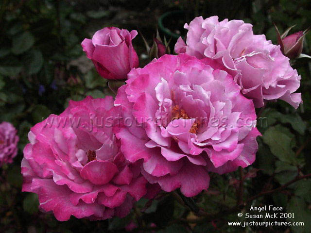 Angel Face rose