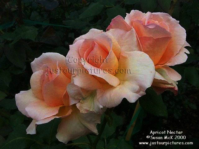 Just Our Pictures Of Roses Apricot Nectar Rose Picture