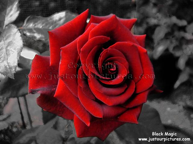black and white background. See here for our complimentary red rose
