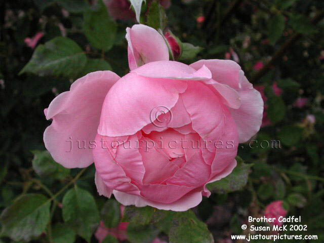 just our pictures of roses brother cadfael rose picture. Black Bedroom Furniture Sets. Home Design Ideas