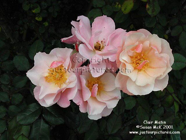 Clair-matin-rose
