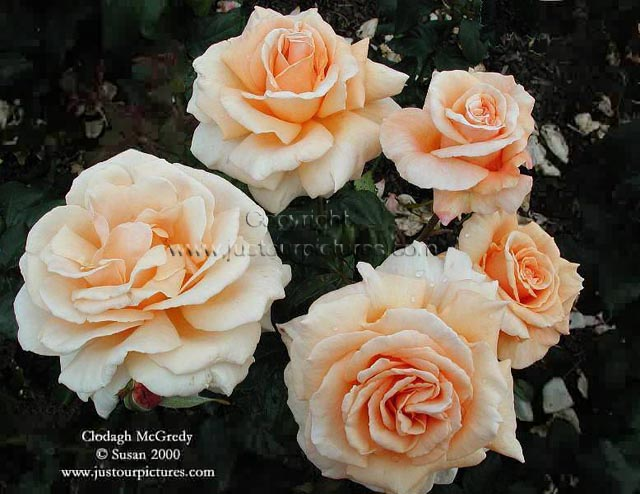 just rose pictures bed of clodagh mcgredy roses