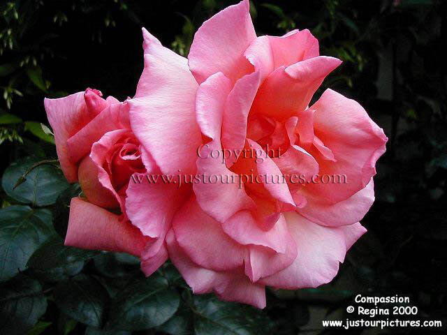 just our rose pictures compassion rose picture. Black Bedroom Furniture Sets. Home Design Ideas