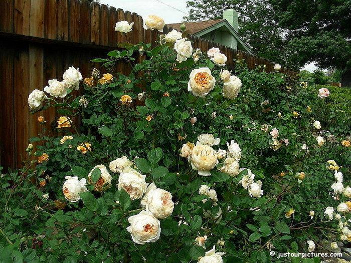 Crown princess margaretha роза