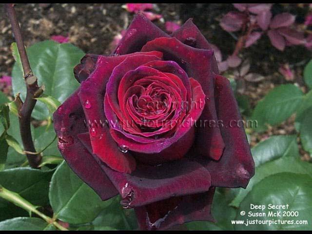 deep secret rose picture just our pictures roses. Black Bedroom Furniture Sets. Home Design Ideas