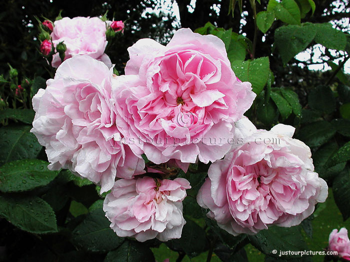 Souvent Fantin-Latour - centifolia rose Just Our Pictures of Roses ~ HA69