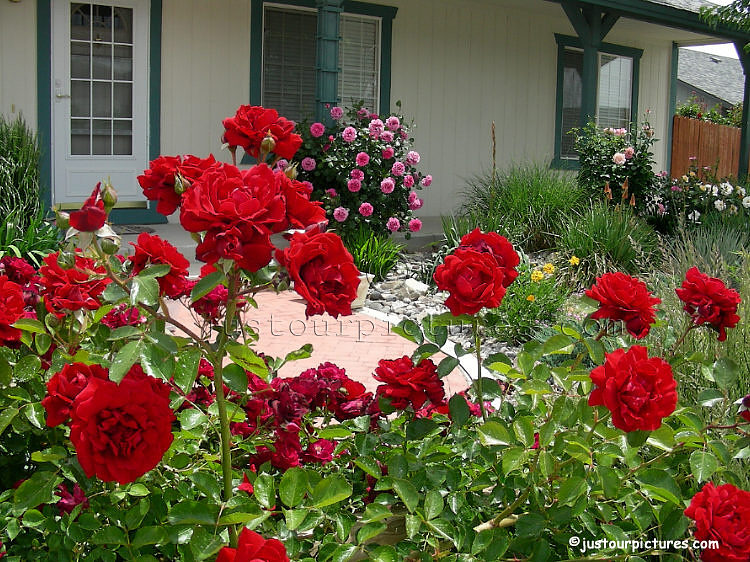 red rose flower garden. red roses garden- red roses in