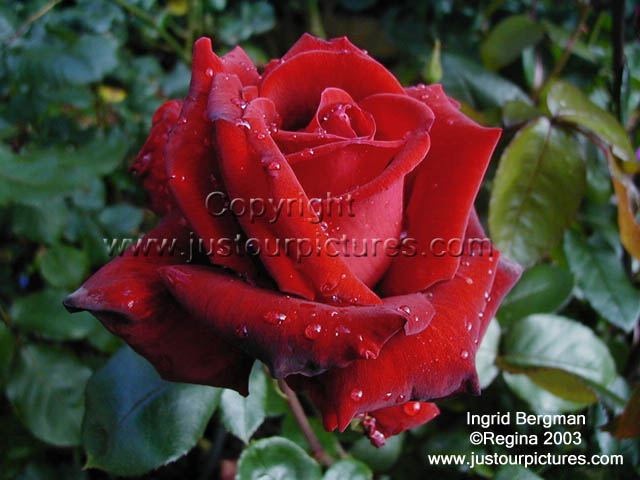 ingrid bergman rose just our pictures of roses picture. Black Bedroom Furniture Sets. Home Design Ideas