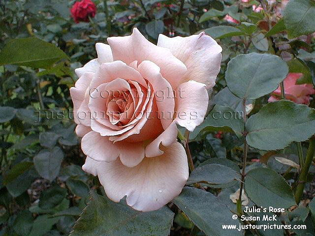 Just Our Pictures Roses Julia S Rose Rose Picture