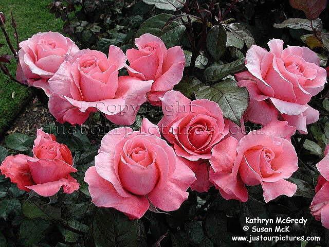 roses online