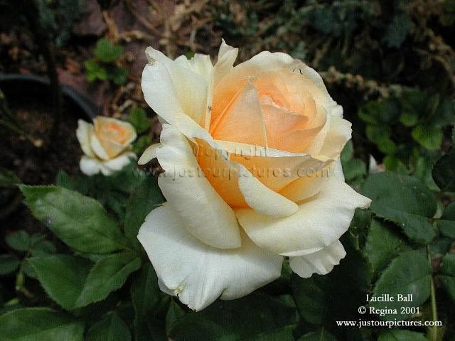Lucille Ball rose