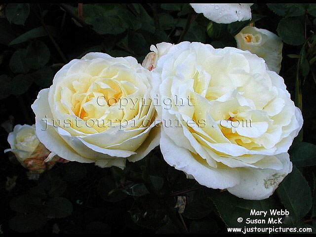 just our pictures of roses mary webb rose picture. Black Bedroom Furniture Sets. Home Design Ideas