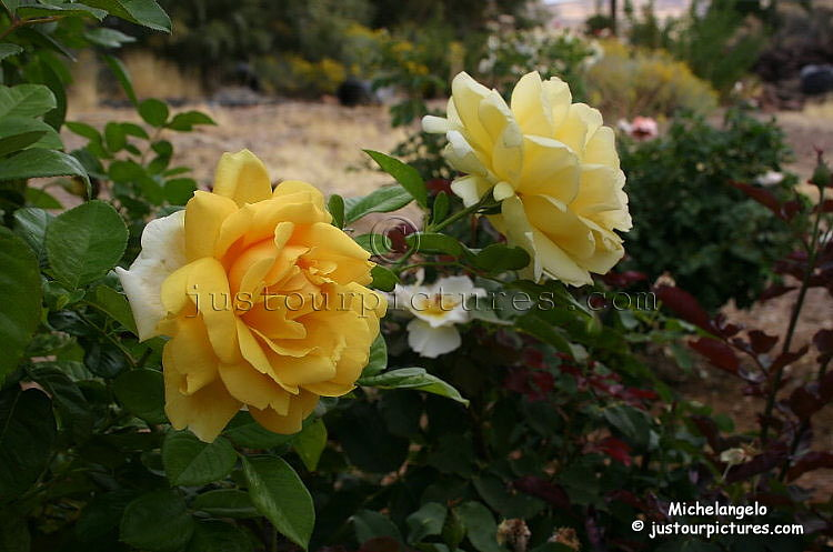 Just Rose Pictures~Michelangelo, Meilliand Romantica, yellow rose ...