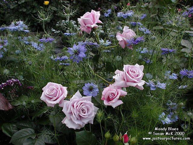 Un sueño.........Mil rosas en mi Jardin Moodyblues1