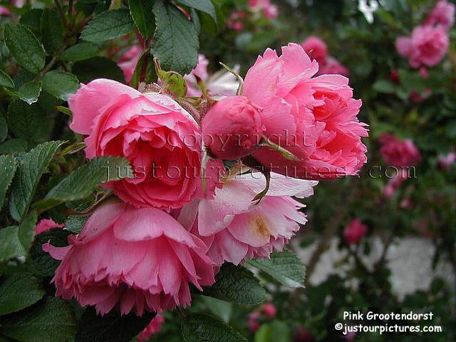 pinkgrootendorst42.jpg