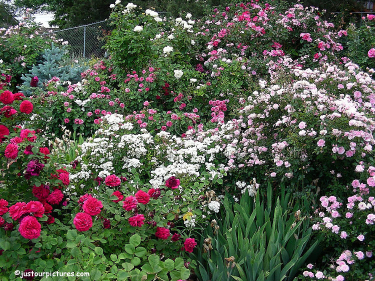 Just our Pictures of Gardens~ Mass display of roses in a Reno garden