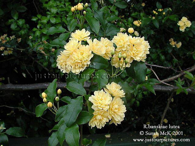 Just Rose Pictures ~ Rosa banksiae lutea