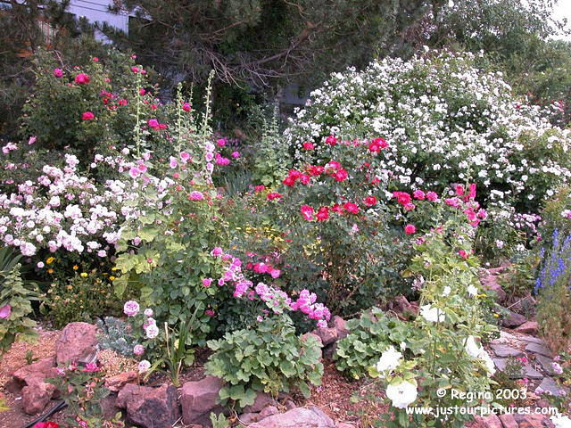 Rose Bushes New Dawn