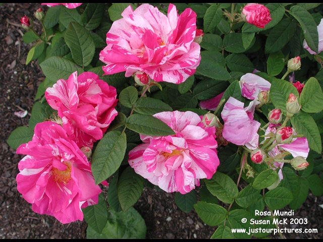 Just our Pictures of Roses ~ Rosa Mundi rose picture
