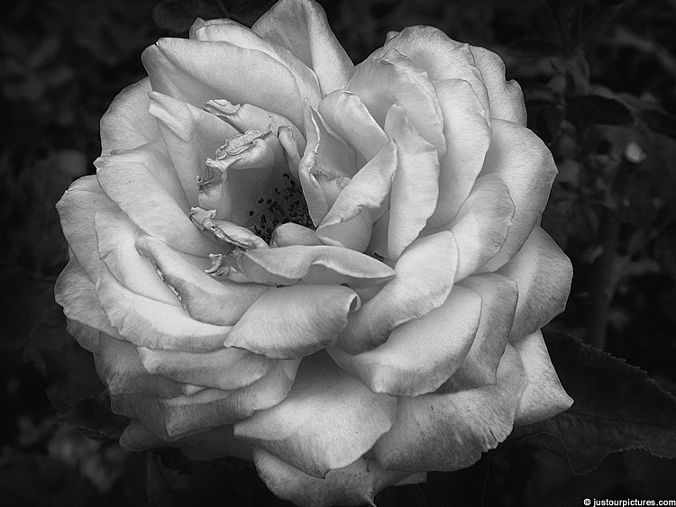 Silver Rose In Black And White