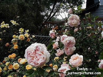 Evelyn Rose Bush