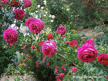 english roses from david austin just our pictures of roses