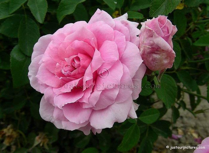 Зимостойкий и неприхотливый сорт роз