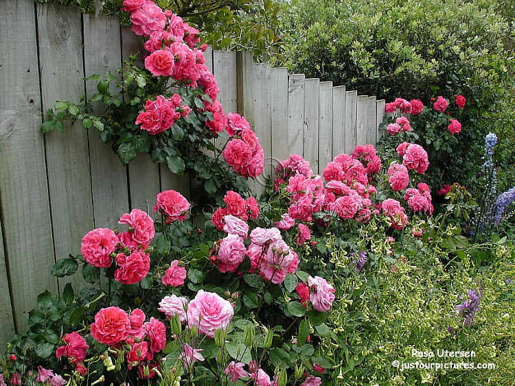 Pink Rose Bushes Group Picture Image By Tag