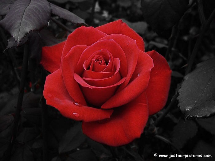 My Luve 's like a red, red rose That 's newly sprung in June