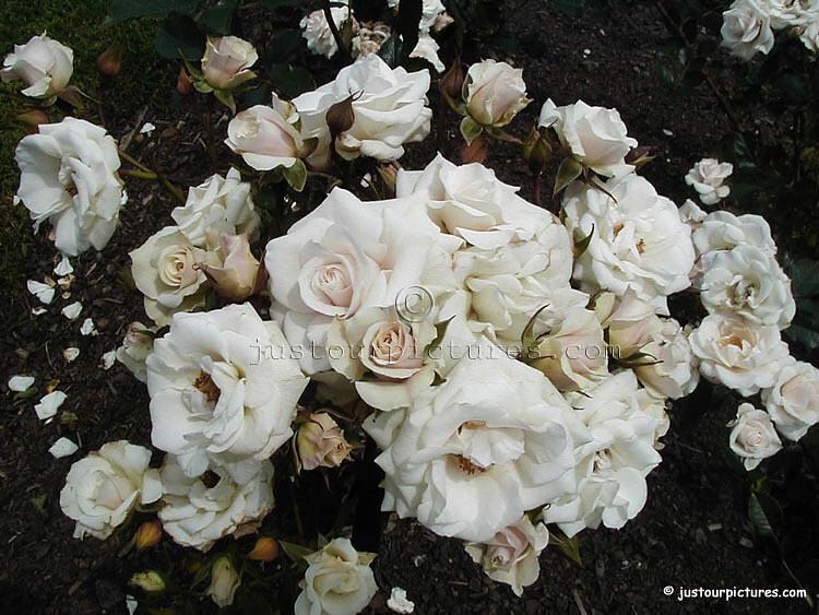 ��� ���� ����� ����� ������ �� ��� ����� ���� ���� ����� � ����� ����� � ����� white_roses_1.jpg