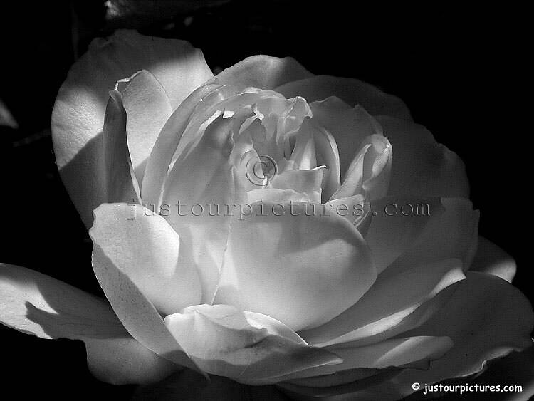 Click here for information regarding use of this black and white rose