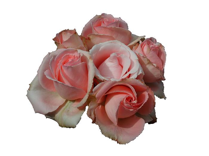 Transparent Pink Rose Picture