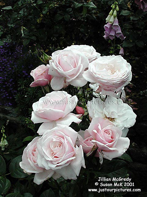Just Our Pictures Of Roses Favorite Rose Pictures For Special