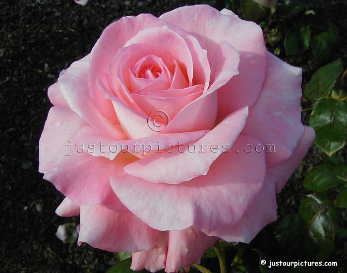 http://www.justourpictures.com/roses/popimgs/pink-rose.jpg