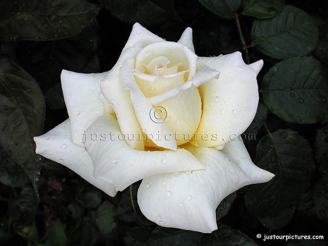 قدم وردة للعضو الذي تحبه - صفحة 4 White-rose