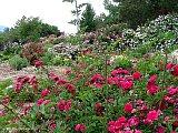 old garden roses just our pictures of roses. Black Bedroom Furniture Sets. Home Design Ideas