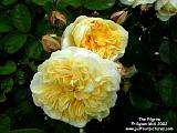 english roses from david austin just our pictures of roses. Black Bedroom Furniture Sets. Home Design Ideas