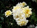 Just Our Pictures Of Roses Yellow Rose Pictures