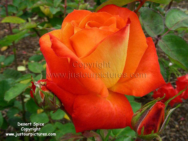 Just Our Pictures Of Roses Favorite Rose Pictures For Special Occasions
